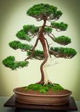 Bonsai Tree with two-tone trunk. Brown and white, curving over to the left standing in a shallow brown pot Royalty Free Stock Images