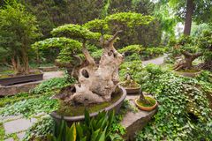 Bonsai tree in vegetation in a chinese park. Chengdu, China Royalty Free Stock Images
