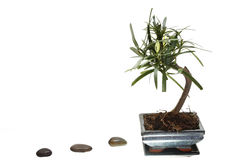 Bonsai tree on white background Stock Photo
