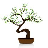 Bonsai tree on white background Stock Image