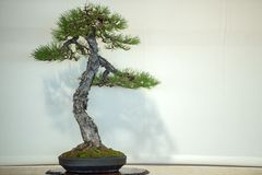 Bonsai tree on white background Stock Images