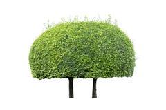 Bonsai tree on white background Stock Photo