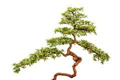 Bonsai tree on white background Stock Image