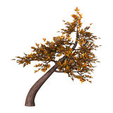 Bonsai Tree on White Royalty Free Stock Photos