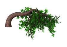 Bonsai Tree on White Stock Image