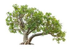 Bonsai tree on white Stock Images