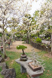 Bonsai tree on white magnolia background at Hallim Park of Jeju Stock Photos