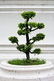 Bonsai tree with white wall Stock Photo
