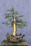 Bonsai tree Yew (Taxus baccata) Stock Photo