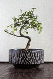 Bonsai tree. Zelkova bonsai tree on white background Stock Photos