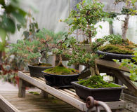 Bonsai Trees. Three bonsai trees in a row from the conservatory at UMass Amherst Royalty Free Stock Photos