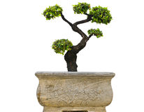 Bonsai trees. Stock Photos