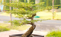 Bonsai trees. Is beautifuls in thailand Stock Photo