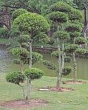 Bonsai trees in botanical garden Stock Photo