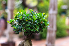 Bonsai trees Stock Photography