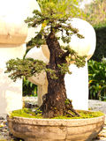 Bonsai tree. S in pot it beautiful tree Royalty Free Stock Image
