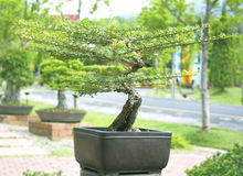Bonsai trees. Royalty Free Stock Photography