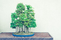 Bonsai trees with split toning retro filter - Trident Maple Fore Stock Photo