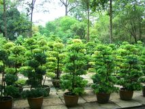 Bonsai trees in Vietnam. Cultivation of Bonsai trees in Vietnam Stock Photography