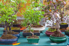 Bonsai trees Stock Photo