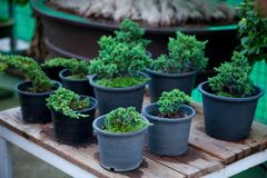 Bonsai trees was many sorted on plank wood Stock Images