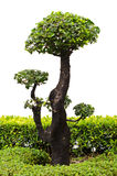 Bonsai trees. Stock Images