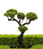 Bonsai trees. Royalty Free Stock Images
