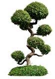 Bonsai trees on white background. Isolated image Royalty Free Stock Image