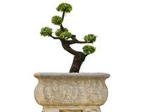 Bonsai drzewa. Zdjęcie Stock