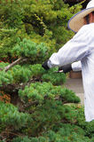 Bonsai trimmed by shears Royalty Free Stock Photo