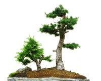 bonsai två Arkivbilder