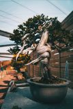 A bonsai with a twisted trunk in an exposure stock photography