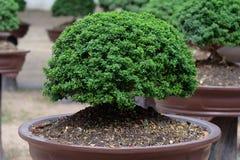 Bonsai in un giardino Fotografie Stock Libere da Diritti