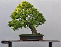 Bonsai van Chinese iep Royalty-vrije Stock Foto's