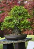 Bonsai van Fraxinus-ornusboom royalty-vrije stock afbeeldingen