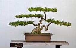 Bonsai van Klein bukshout Stock Afbeelding