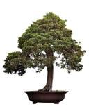 Bonsai van pijnboom Royalty-vrije Stock Afbeelding
