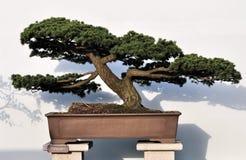 Bonsai van pijnboom Stock Foto's