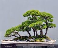 Bonsai van pijnboom Royalty-vrije Stock Afbeeldingen