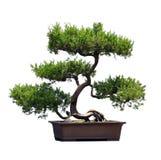 Bonsai van pijnboom Stock Afbeeldingen