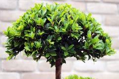 Bonsai verdi del cespuglio Fotografia Stock