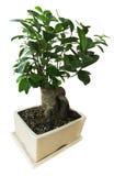 Bonsai w białym garnku Obrazy Stock