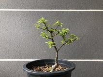 Bonsai w garnku fotografia stock