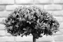 Bonsai w szarości brzmieniu Obrazy Stock