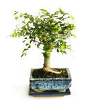 Bonsai on a white. Small tree of bonsai on a white background Royalty Free Stock Images