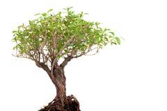 Bonsai on white Stock Photos