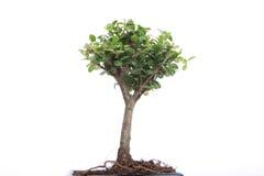 Bonsai on white Stock Photo