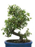 Bonsai on white background Royalty Free Stock Images