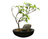 Bonsai on white background Royalty Free Stock Photography