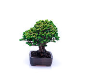Bonsai on white background Royalty Free Stock Image